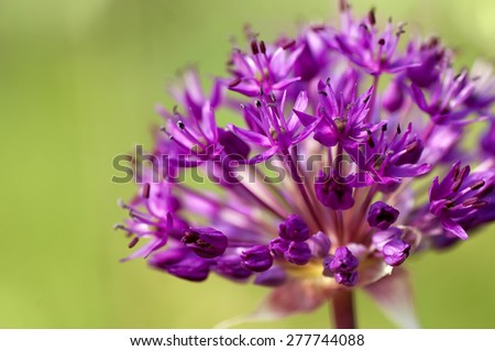 spring  purple allium  flowers, natural abstract  soft floral background - stock photo