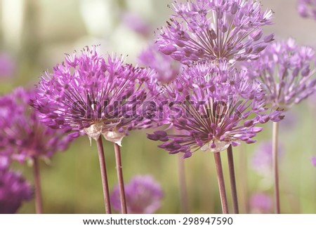 spring  purple allium  flowers, natural vintage and pastel natural background - stock photo