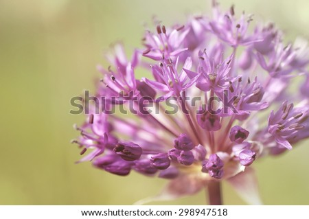 spring  purple alllium  flowers, natural vintage and pastel natural background - stock photo