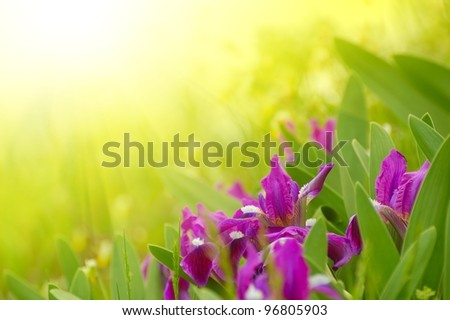 Spring Purple Flowers in the Bright Sunlight