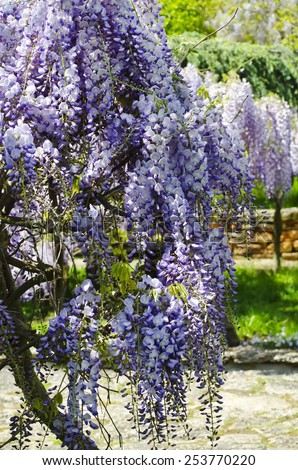 Spring Purple Wistaria Blossom in Garden Landscaping - stock photo