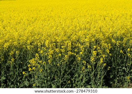 spring rape field Colza (Brassica rapa), rural scene, czech republic - stock photo