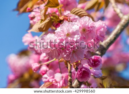 Spring sakura flower tree blossom. Spring tree. Spring flower close up. Spring sakura. Spring cherry branch. Spring pink flower. Spring flower closeup. Spring background. Spring  april may background - stock photo