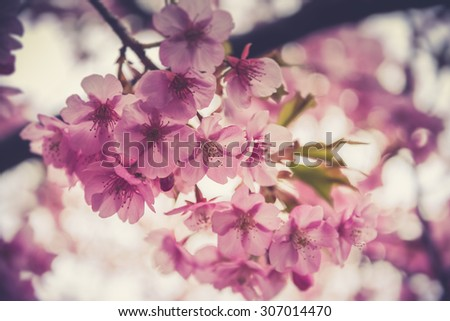 spring sakura pink flower with sun sky vintage color toned abstract nature background.(Vintage filter effect used) - stock photo