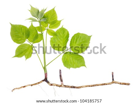 Spring seedling sprout garden blackberry stem with roots and leaves
