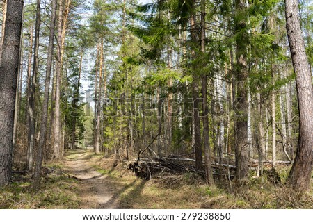 spring siberian forest landscape: a birch and pine trees - stock photo