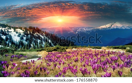 Spring snow melt and in the Carpathian valleys grow beautiful alpine flowers, crocus, crocuses, they are also Geyfelya, they also primroses. time-May vacation-favorite for alpine trips in Carpathians  - stock photo