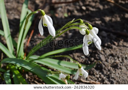 Spring snowdrop flowers blooming in sunny day - stock photo