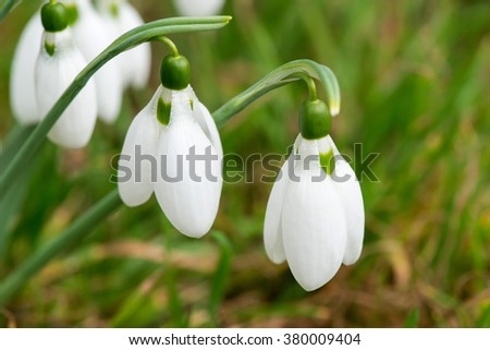 Spring snowdrop flowers blooming in sunny day - selective focus, copy space - stock photo