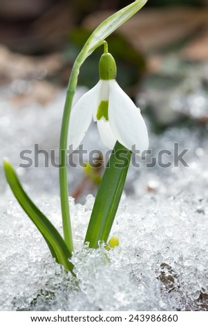 Spring snowdrop flowers in the snow - stock photo