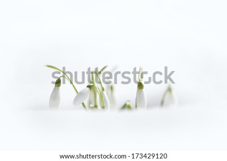 Spring snowdrop flowers with snow - stock photo
