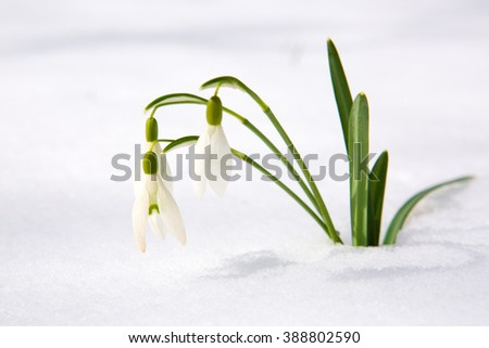 Spring snowdrop flowers with snow in the garden. - stock photo