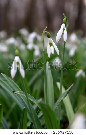 Spring snowdrop (Galanthus nivalis) flowers blooming in forest - stock photo