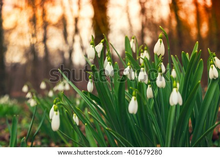 Spring snowdrop (Galanthus nivalis) flowers blooming in forest in Hungary - stock photo