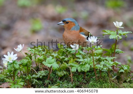 Spring songbird chaffinch sitting on the ground among the flowers primroses - stock photo