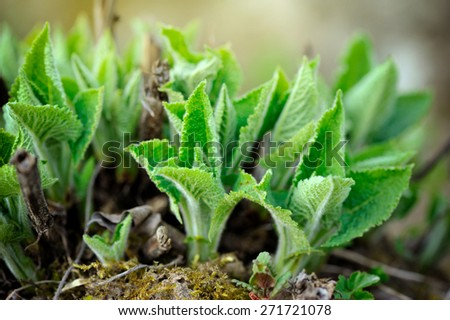Spring sprouts young sage - stock photo
