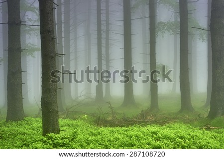 Spring spruce forest with blueberries with mist in the background
