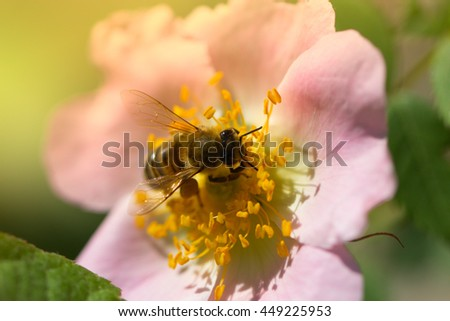 spring (summer) rose flower and bee. Bee on a flower