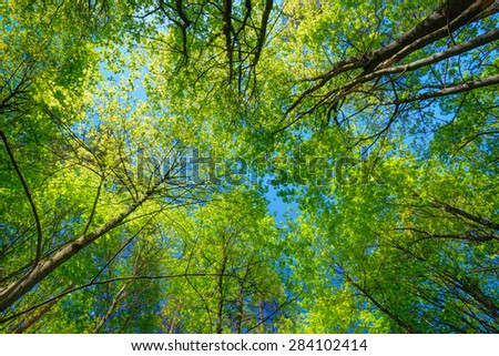 Spring Summer Sun Shining Through Canopy Of Tall Trees. Sunlight In Deciduous Forest, Summer Nature. Upper Branches Of Tree. Low Angle View. Woods Background. - stock photo