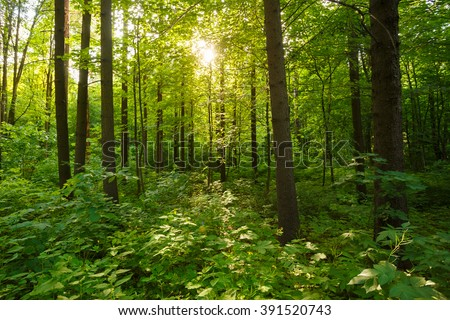 Spring Summer Sun Shining Through Canopy Of Tall Trees Woods. Sunlight In Deciduous Forest, Summer Nature.