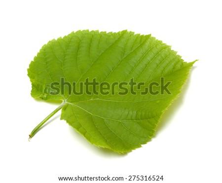 Spring tilia leaf isolated on white background - stock photo