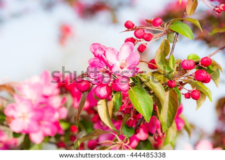 Spring time - flowering apple tree with pink blossoms. - stock photo
