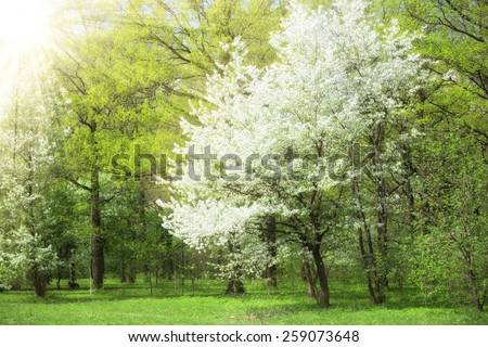 Spring time in a park - blooming cherry tree and bright green grass, sun rays glow effect. - stock photo