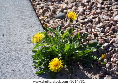 Spring time scene with sidewalk fragment and dandelion in sunny neighbourhood . - stock photo