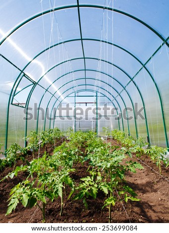 Spring tomato seedlings in greenhouse - stock photo