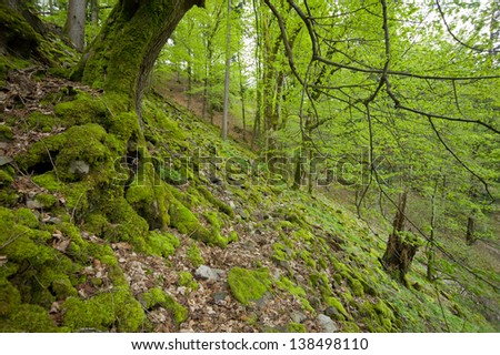 spring tree, Black Forest, Germany