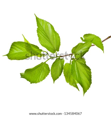Spring tree branch with fresh green leaves isolated on white background