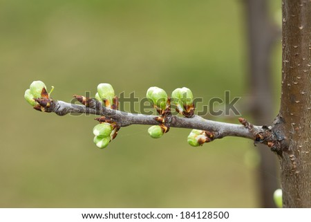 Spring tree buds  - stock photo