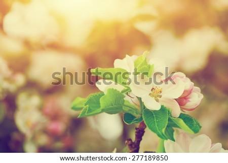Spring tree flowers blossom, bloom in warm light, sun. Vintage  - stock photo