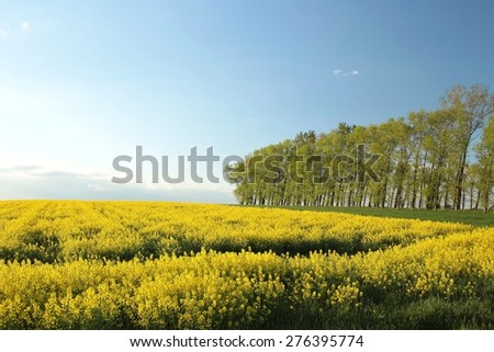 Spring trees in a field of rape. - stock photo