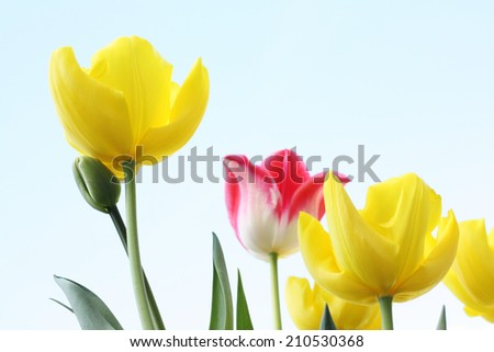 Spring Tulips close up on a sunny day - stock photo