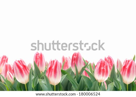 Spring tulips flowers in green grass isolated on white background - stock photo