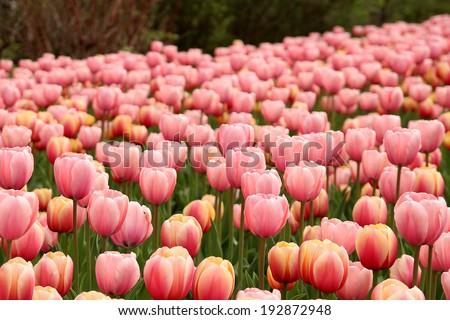 Spring tulips in full bloom at the Tulip Festival in Ottawa, Canada. - stock photo