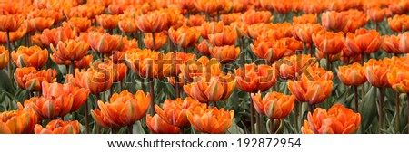 Spring tulips in full bloom at the Tulip Festival in Ottawa, Canada. Panoramic view. - stock photo