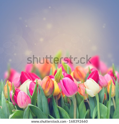 spring tulips in garden on violet toned  background - stock photo