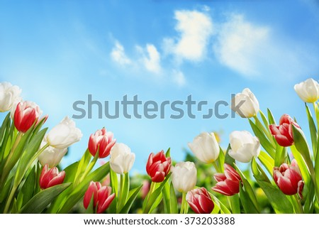 Spring tulips in the field,nature background. - stock photo