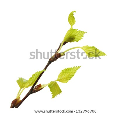 spring twig birch with green leaves isolated on white background - stock photo