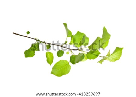 Spring twig of wild plum tree with young leaves, isolated on white background
