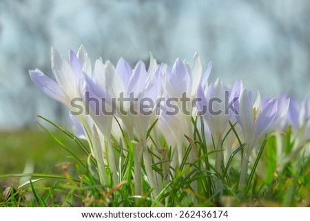 Spring wallpaper with gentle pastel blue crocus flowers on sunlit Alpine glade. Stock photo with shallow DOF and blurred background. - stock photo