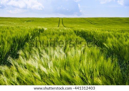 Spring wheat field with green rye and beautiful blue sky full of clouds