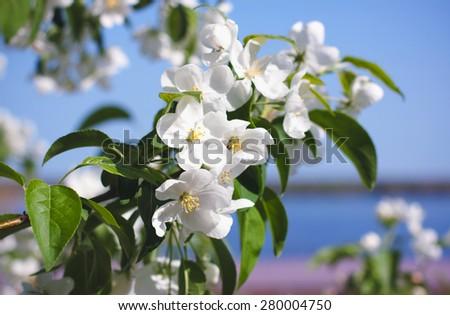 Spring white blossom of apple tree - stock photo