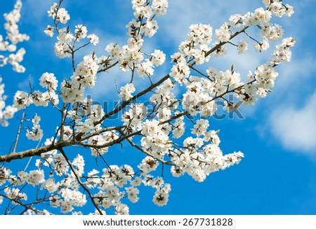 Spring white blossoms against blue sky - stock photo