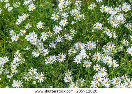 Spring white daisies close up background - stock photo