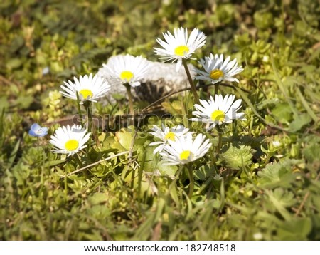 Spring White Daisies Over Green Meadow