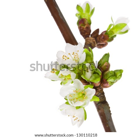 Spring white flowers and green buds close-up with branch isolated on white background. - stock photo