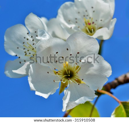 Spring white flowers on blue background - stock photo